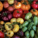Heirloom Tomatoes Cereus Solutions Sustainability Resrouce Center